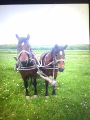 Коні Кобили пара коней