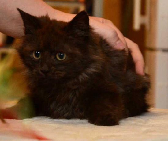 Дымчато-черный пушистый котенок, 3 мес