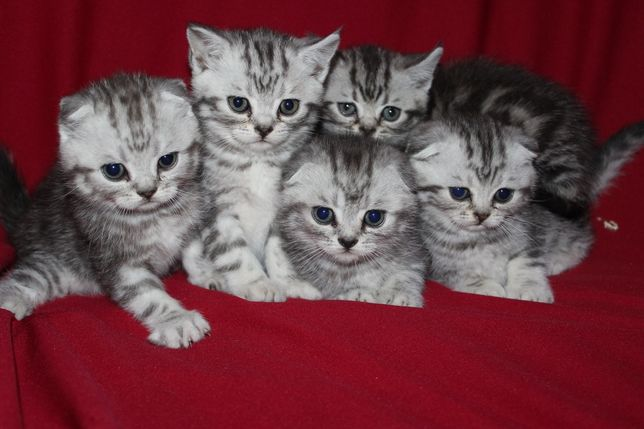 Мраморные котята страйт и фолд
