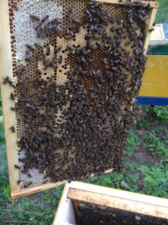 Бджоло пакети матки Українська степова