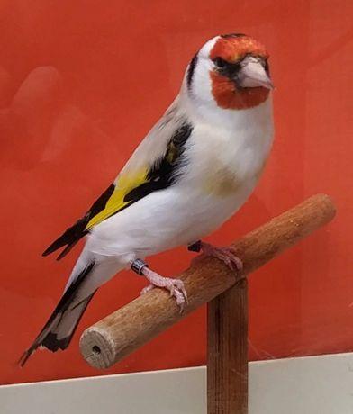 певчие птицы для души