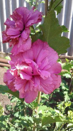 Гибискус сильно махровый сирийский древовидный насыщенно-розовый