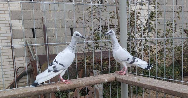 Gołębie srebrniaki
