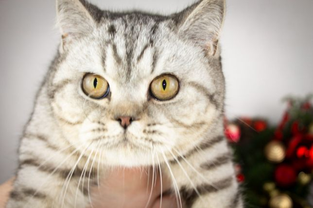 Таббі шиншилла  котик для вас акція!
