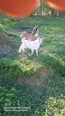 Sprzedam koze i koziołka