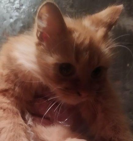 Шикарная кошка ищет дом ( 7-8 месяцев)