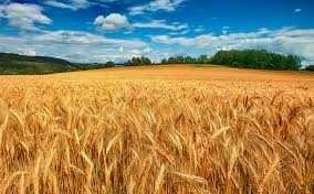Продам пшеницу  Продам ячмень