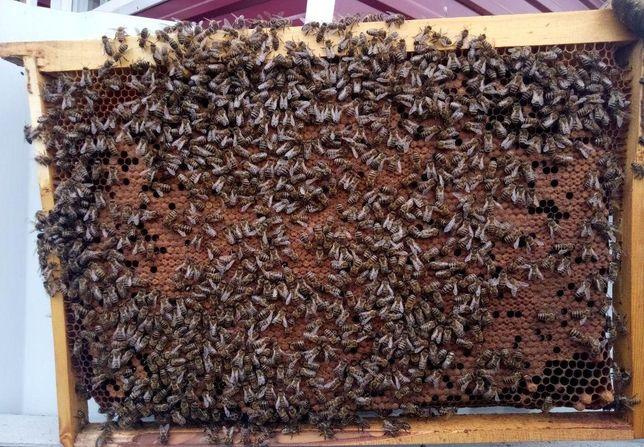 Пчелиная матка Карпатка Вучковская Карпатской породы пчелиная матка