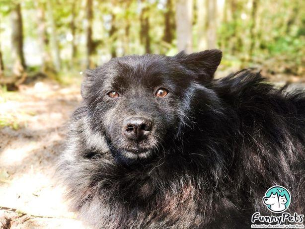 Piękny, czarny, kudłaty pies Kovu w typie szpica do adopcji!