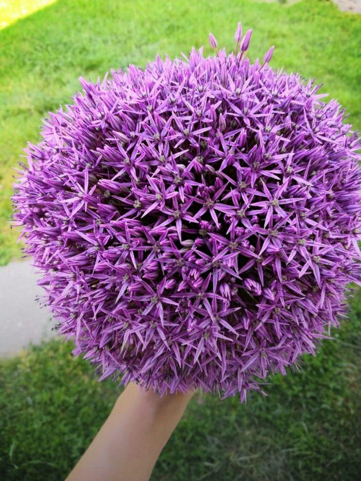 Czosnek ozdobny cebulki Allium Globemaster