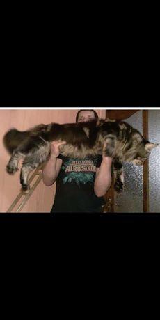 котята-мейнкунята - лучшее средство от стресса!Друг для всей семьи