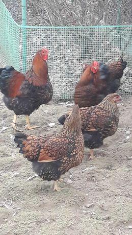 wyandotta wyandotte olbrzymia złotołuskowana jaja legowe