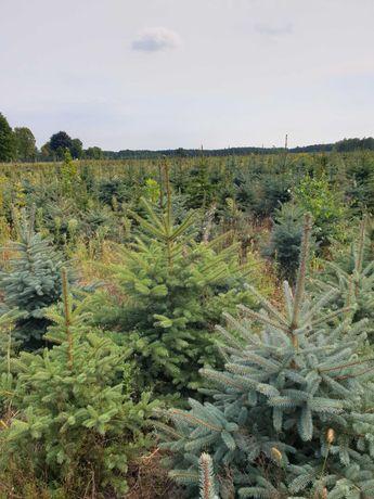 świerk świąteczny do doniczki, rezerwacja grudzień, Warszaw, producent
