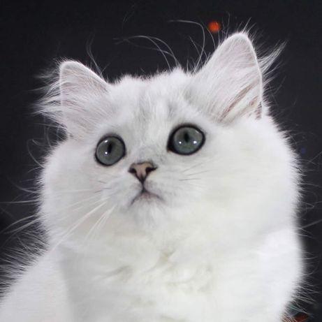Элитный британский котенок, кот, Звездный Огонь, для души и выставок!