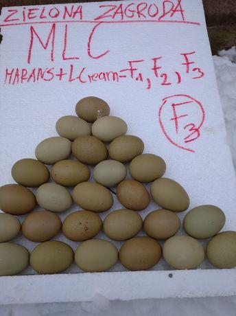 Mlc oliwkowe jajka Marans / Legbar cream F3 drob ozdobny