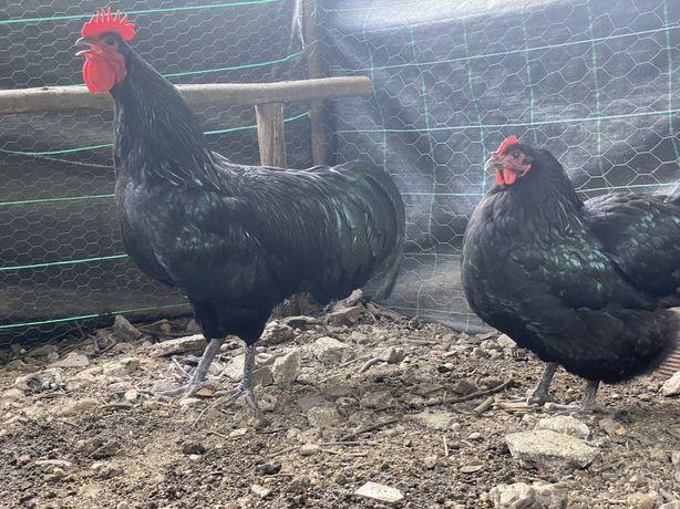 Australop ( galinhas gigantes, excelente poedeira duplo porposito)