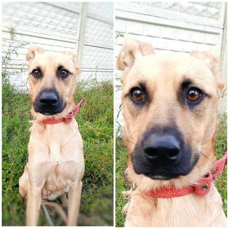 Небольшая светло-рыжая собака Мили собачка