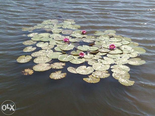 Kwiaty wodne Nenufary