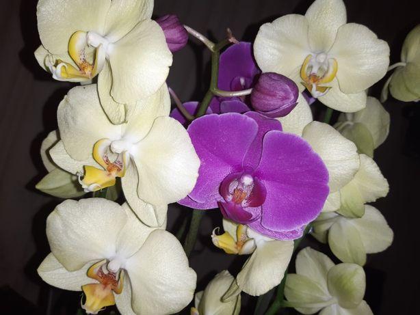 Орхидея реанимашка, орхідея, реанимация орхидей, реанімація орхідей