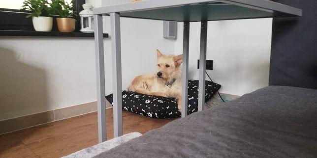 Nora - przestraszona biszkoptowa sunia czeka na adopcje
