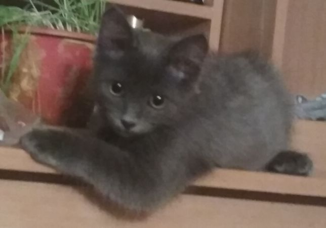 Голубой (дымчатый) пушистый котенок