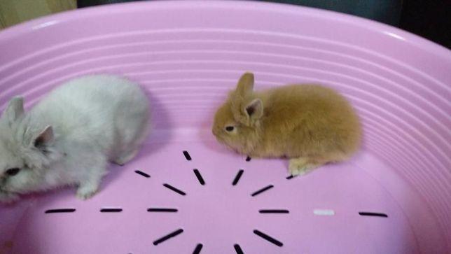 Кролик продам карликовый-малыши