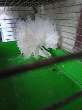Gołębie ozdobne pawiki pawie
