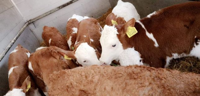 Sprzedaż byczków mięsnych