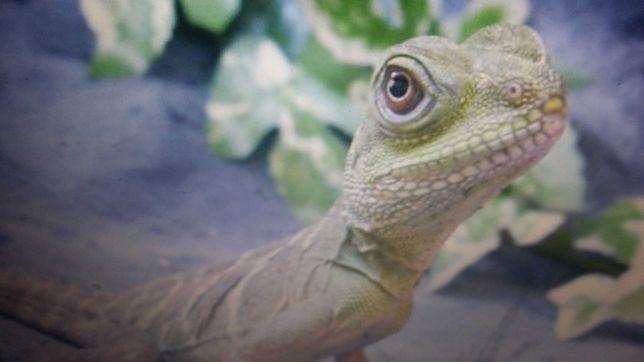 Agama zielona jaszczurka