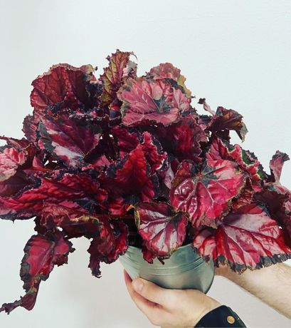 Begonias/plantas de interior