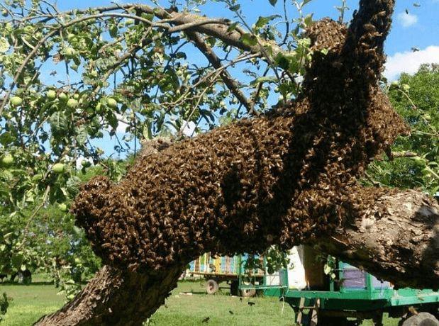 Рій бджоли бджолинна сім'я
