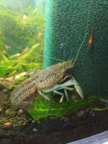 Продам акваріумних мраморних раків