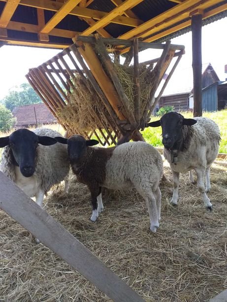 Dorper, mix, owieczka, mieszaniec dorper