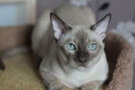 Срочно продам тонезийских котят