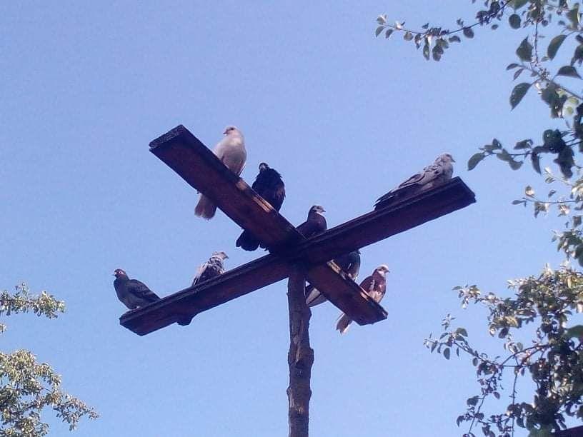 Продам голубей цена договорная Конотоп - изображение 1