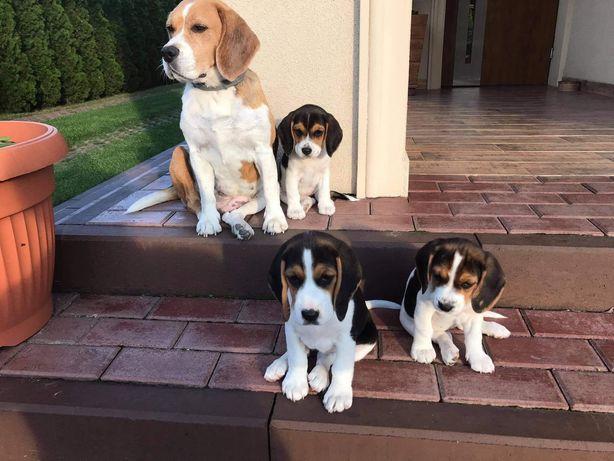 Szczenięta rasy Beagle (gotowe do odbioru)
