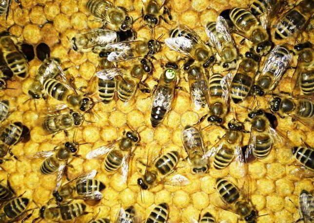 Пчеломатки F1 Принимаем заказы СARNICA От инст. Кирххайн