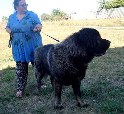 Кавказская овчарка кобель на вязку, кавказец крупный
