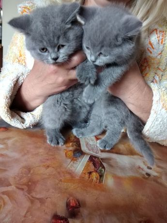 Kotki kocurki niebieskie