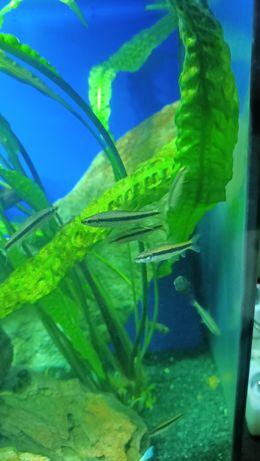 Kosiarka grubowarg syjamski 4-5 cm zdrowe
