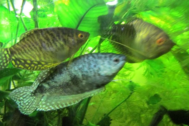 Ryby akwariowe Skalary, Gurami