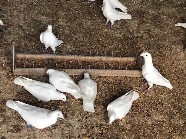 Młode białe gołębie pocztowe.