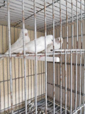 Canarios Brancos