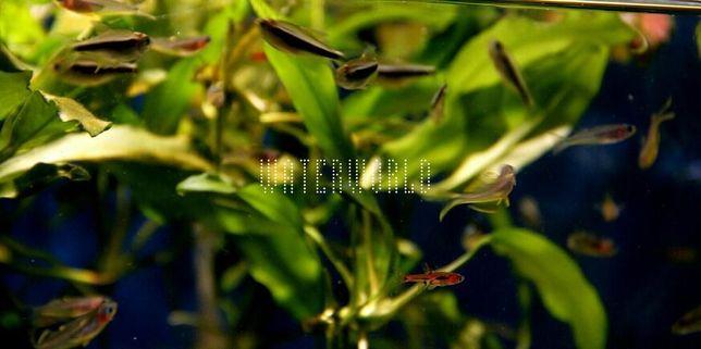 Neon czarny XL ,Hyphessobrycon herbertaxelrodi WATERWORLD Krosno