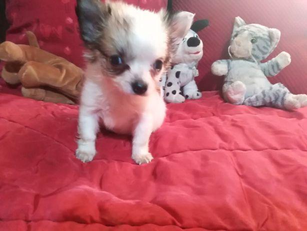 Chihuahua dziewczynka