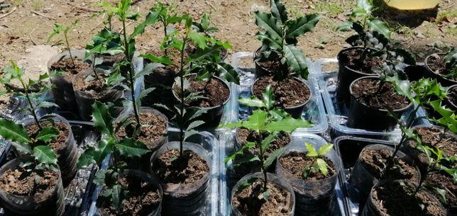 Azevinho - planta em vaso