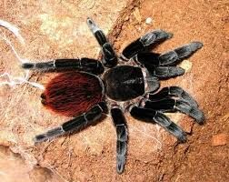 павук птицеед недорого новичкуbrachypelma vagans