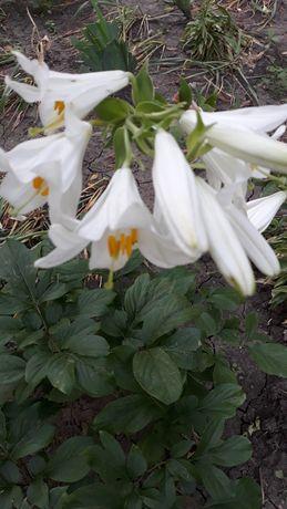 Садовый цветок Лилия белая