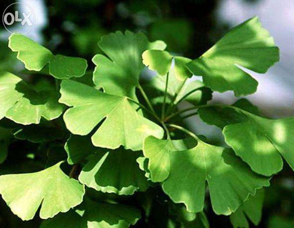 Гінкго білоба,сушене листя гінкго, Гинкго билоба,сушеные листья гинкго