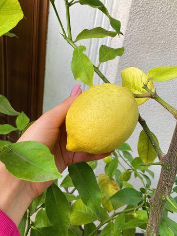 Лимонне дерево (лимоніЩє)